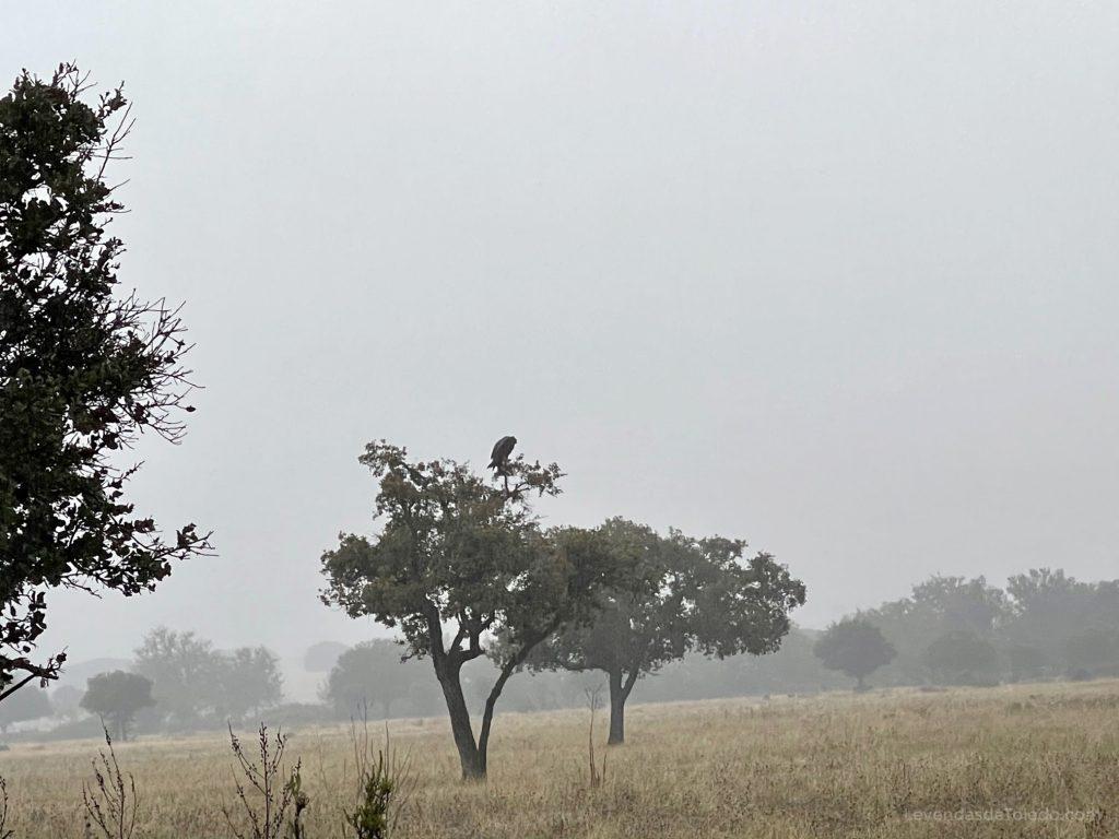 Buitre Negro posado en un árbol en Cabañeros